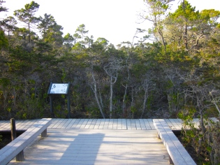 pygmy forest in Jug Handle State Reserve