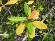 pygmy rhododendron leaves turning yellow early