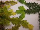 pygmy (left) and nonpygmy (right) redwood leaves