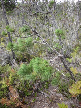 fallen over Bolander Pine in the pygmy forest.