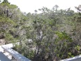 pygmy forest in the Jug Handle State Reserve